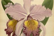 Aquarelas (e outras ilustrações) botânicas