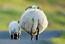 Sheep forever
