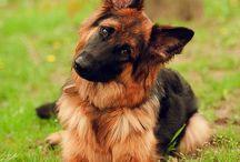 German shepherds ❤️