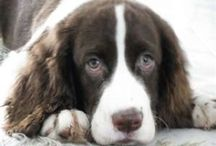 For the Love of Springers / LOVE LOVE English Springer Spaniels, the best friend you could ever have!!!! In memory of my Zoe Girl, May 2006 to June 2013. Miss You Everyday! Welcome Miss Molly, my new ESS puppy who is roan, liver and white. What a beautiful girl ! / by Wendy Dettman