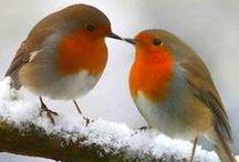 Robins / Little Robin Redbreast.