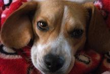 Beagleface