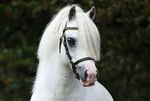 Paarden   Rassen