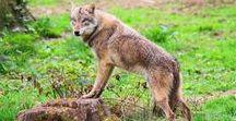 Loup / Sujets ayant trait au Loup (Canis lupus lupus)