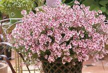Blomster i krukker / Blomster til altanen