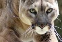 Beautiful Wild Cats / by Bonnie Hogue