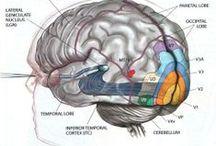 L'information visuelle / De l'oeil au cerveau:  Cellules bipolaires Cellules ganglionnaires Champ récepteur