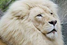 LEÃO / Rei da Selva