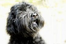 Dexter our Barbet dog