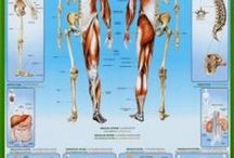 Human Body / Anatomy and Physiology of Human Body