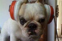 Frenchie   [French bull dog]