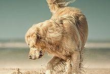 Golden Retriever / #dogs #goldenretriever #animals #photo