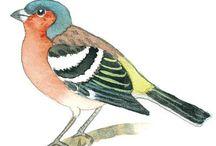 BG: Linnut ja kevätseuranta