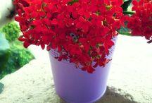çiçekler, bitkiler-my flower and all flower / Balkonumda yetişen çiçeklerim ve sevdiğim tüm çiçekler.Begonya, sardunya, kalanchoe, açelya. (Begonia, geranium,kalanchoe, azalea,Flowers that grow on my balcony)