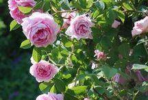 Rosenträume - berlingarten / Rosenlust: die richtigen Sorten, Rosen düngen, schneiden und pflegen