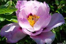 Schönste Gehölze - berlingarten / Hortensien, Flieder, Staudenpäonien uvm - Gehölze wie Sträucher und Bäume gehören in jeden Garten