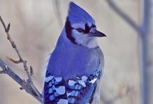 Blue Jays / by Arlene Norris