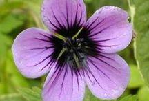 Hardy Geraniums / Flowers
