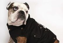 Cool Blue Dog Apparel / Cool Blue's collection of outerwear exclusively designed for English bulldogs, French bulldogs, pugs, and other hard to fit breeds!