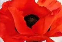 Ustalardan Gelincik - Masters of Red Poppies