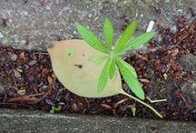 machibon/街盆栽 / 街のかたすみにひっそりと、健気に、 逞しく棲息する名も知らない草花を勝手に 「街盆栽」と名付けて楽しんでいます。