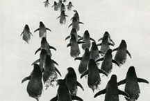 Inspiration: Penguins / Awww, little little penguins.....we are eyeing one up for the studio!
