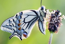 BUTTERFLIES, MOTHS & DRAGONFLIES / by Connie Bangle