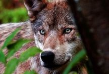 My Favoriten Animal..... The Wolf!!!