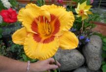 Hemerocallis - My garden