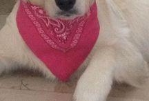 Beautiful dog / My beautiful golden retriver, Labrador e pastore bernese!!!!