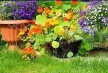 Companion gardening / #companion #gardening