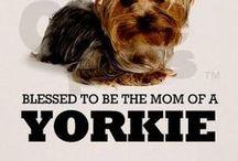 Yorkies / Yorkshire Terriers, Yorkies