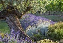 Lavender fullness