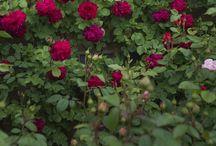 I promise a Rose Garden / Roses