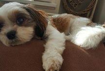 Myloh / Mijn lieve hondje. Een boomertje geboren 20/12/2014  Myloh is als eerste geboren en heeft nog 4 zusjes.