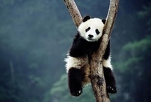 i LOVE pandas! / How can you look at this and not think this is the most adorable thing you have ever seen?!?!?!?! / by Nicole Bertrand