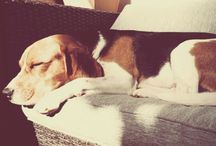 Unser GERRY / Beagle
