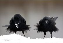 crows ravens etc. / by Sandi Gileo
