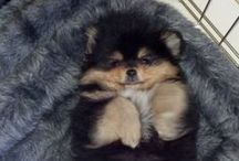 I want a dog / Pomeranian, Papillon..