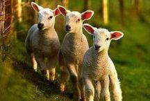 Sheep memorabilia