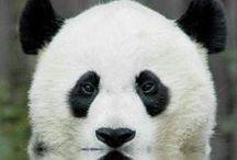 Panda <3 / null
