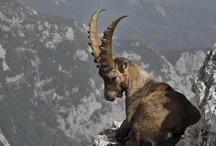 Antlers & horns fever