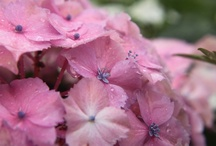 FLOWER : Hydrangea / Hortensia
