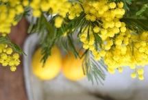 FLOWER : Acacia dealbata / Mimosa