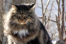 Norwegian Forest Cat Stuff