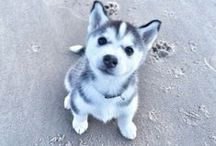 Huskie Puppy Life! / I want one. Point. Blank. Simple.