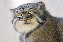 Pallas cat / Cats