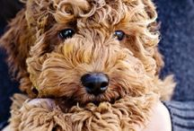 Labradoodle / Love this dogs