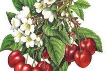 Owoce /  decoupage obrazki