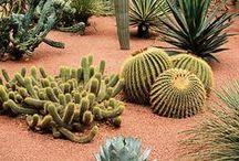 Cactussen en succulenten